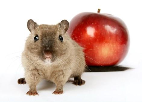 Dopamine proef met ratten